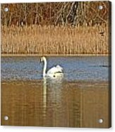 Swan And Swallow Acrylic Print