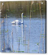 Swan At Derryallen Lough Acrylic Print