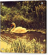 Swan At The Golden Lake Acrylic Print