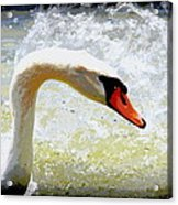 Swan - Beautiful - Elegant Acrylic Print