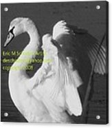 Swan Black And White Acrylic Print