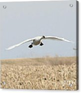 Swan Coming In For A Landing Acrylic Print