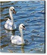 Swan Day Acrylic Print
