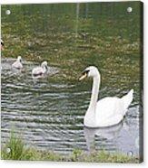 Swan Family Acrylic Print by Teresa Mucha