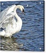 Swan Feather Acrylic Print