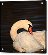 Swan Grooming Acrylic Print