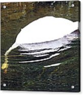 Swan Hunting For Dinner Acrylic Print