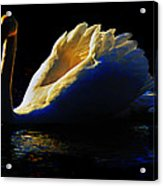 Swan In Golden Light Acrylic Print