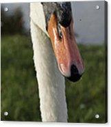 Swan Acrylic Print