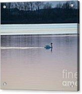 Swan On Lake At Dusk Acrylic Print
