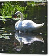 Swan On Lake Sabbatia Acrylic Print