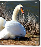 Swan Protects Her Eggs Acrylic Print