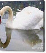 Swan Reflection Acrylic Print