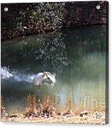 Swan Skid Acrylic Print