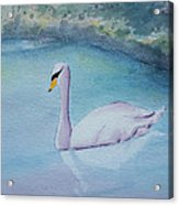 Swan Study Acrylic Print