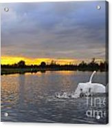 Swan Taking Off Acrylic Print