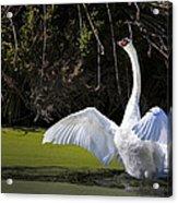 Swan Wings Spread Acrylic Print