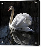Swan With Reflection  Acrylic Print