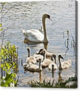 Swan With Signets 2 Acrylic Print