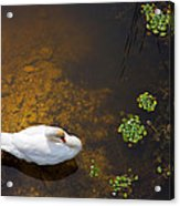 Swan With Sun Reflection On Water. Acrylic Print