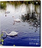 Swan's 3 In A Group. Acrylic Print