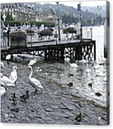 Swans And Ducks In Lake Lucerne In Switzerland Acrylic Print