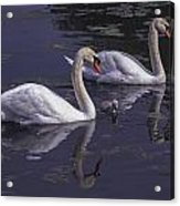 Swans And Signet Acrylic Print