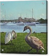 swans at Christchurch harbour Acrylic Print by Martin Davey