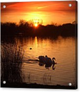 Swans At Sunset Acrylic Print by Ed Pettitt