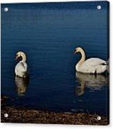 Swans Belle Isle Acrylic Print