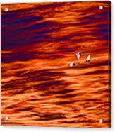 Swans Flying Acrylic Print