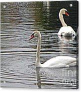 Swans On The Lake - Limited Edition Acrylic Print