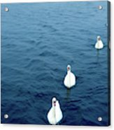 Swans On The Vltava River, Prague Acrylic Print