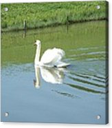 Swany Reflection Acrylic Print