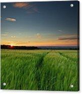 Swaying Barley At Sunset Acrylic Print