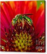 Sweat Bee Collecting Pollen Acrylic Print