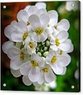 Sweet Alyssum Acrylic Print