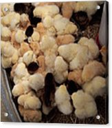 Sweet Baby Chicks For Sale Acrylic Print