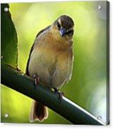 Sweet Bird On Branch Acrylic Print