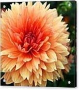 Sweet Dahlia Acrylic Print