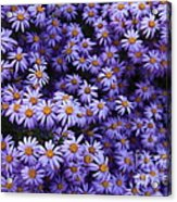 Sweet Dreams Of Purple Daisies Acrylic Print