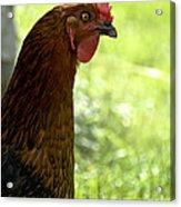 Sweet Hen Acrylic Print