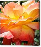 Sweet Juliet Rose Acrylic Print