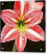 Sweet Lillian Amaryllis Acrylic Print