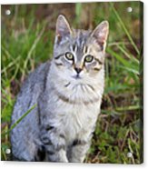 Sweet Little Tabby Kitten Acrylic Print