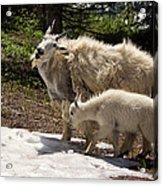 Sweet Mama Goat Acrylic Print