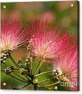 Sweet Mimosa Acrylic Print