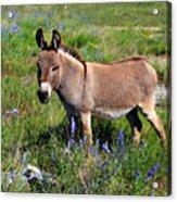 Sweet Miniature Donkey Acrylic Print