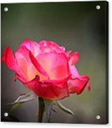 Sweet October Rose Acrylic Print