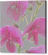 Sweet Pea Flowers Converted To Coloured Pencil Drawing Acrylic Print